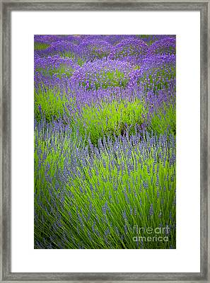 Lavender Study Framed Print by Inge Johnsson