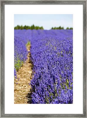 Lavender's Blue Framed Print by Anne Gilbert