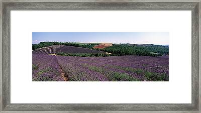 Lavenders Growing In A Field, Provence Framed Print