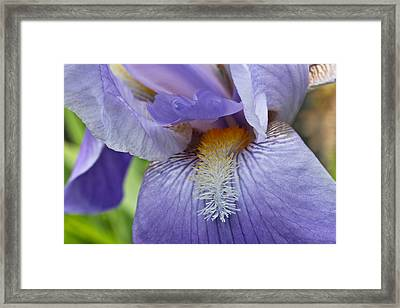 Lavish Iris Framed Print by Julie Andel
