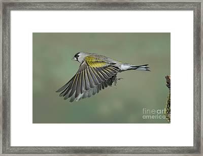 Lawrences Goldfinch Framed Print