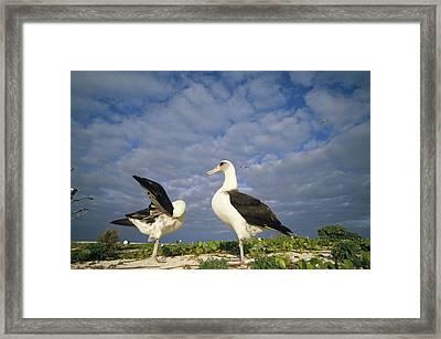 Laysan Albatross Courtship Dance Hawaii Framed Print by Tui De Roy