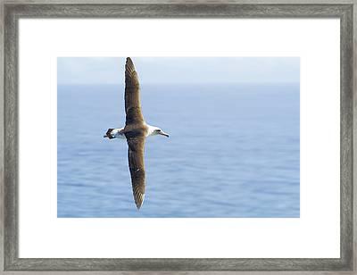 Framed Print featuring the photograph Laysan Albatross No 1 - Kilauea - Kauai - Hawaii by Belinda Greb