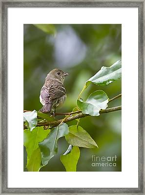 Lazuli Bunting Female 2 Framed Print by Sharon Talson
