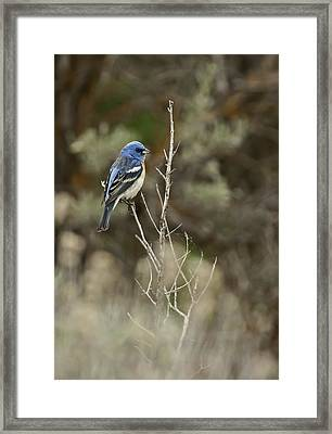 Framed Print featuring the photograph Lazuli Bunting by Judi Baker