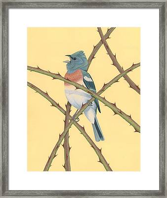 Lazuli Bunting Framed Print by Nathan Marcy