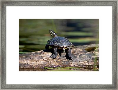 Lazy Day On A Log 6241 Framed Print by Brent L Ander