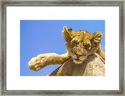 Lazy Lion Framed Print by Diane Diederich