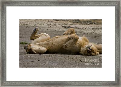 Framed Print featuring the photograph Lazy Lion by J L Woody Wooden