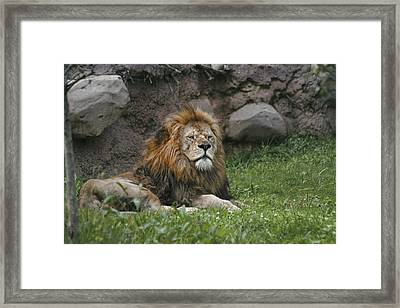 Lazy Lion Framed Print