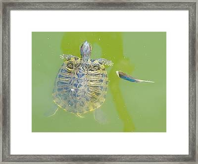 Lazy Summer Afternoon - Floating Turtle Framed Print