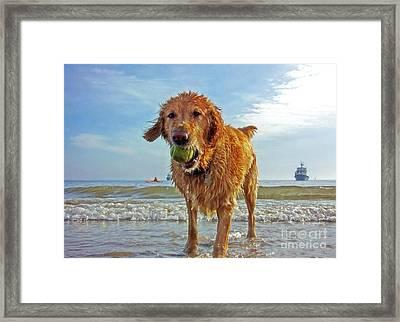 Golden Retriever Dog With Tennis Ball At The Beach Framed Print