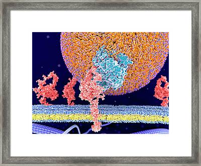 Ldl Bound To Receptor Framed Print by Juan Gaertner