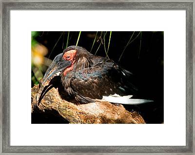 Leadbeaters Ground Hornbill Framed Print