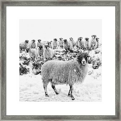 Leader Of The Flock Framed Print