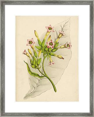 Leaf And Flowers Of A Tobacco  Plant Framed Print by Mary Evans Picture Library