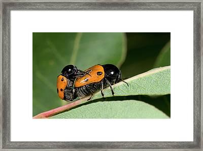 Leaf Beetles Framed Print by Nigel Downer