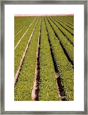 Leaf Lettuce Framed Print by Robert Bales