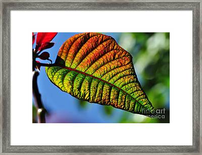 Leaf Of The Poinsettia Framed Print by Kaye Menner