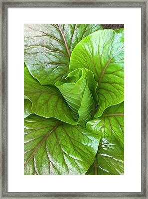 Leaf Rosette Of The Giant Himalayan Lily Framed Print by Dr Jeremy Burgess