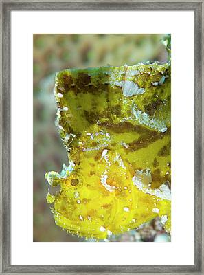 Leaf Scorpionfish On A Reef Framed Print by Louise Murray