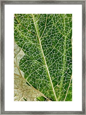 Leaf Skeleton Of Ivy (hedera Helix) Framed Print by Dr Jeremy Burgess