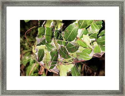 Leaf-stitching Ants Making A Nest Framed Print by Tony Camacho
