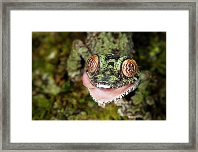 Leaf-tailed Gecko Framed Print by Alex Hyde