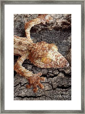 Leaf-tailed Gecko Framed Print by Art Wolfe