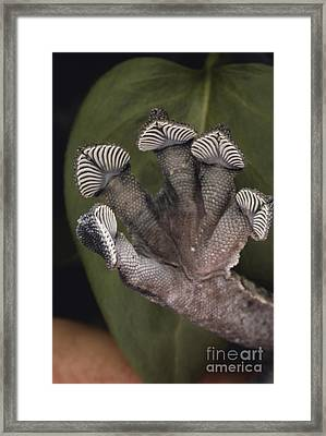 Leaf-tailed Gecko Foot Framed Print by Gregory G. Dimijian, M.D.