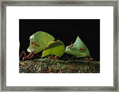 Leafcutter Ant Ants Taking Leaves Framed Print