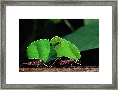Leafcutter Ant Atta Sp Group Workers Framed Print