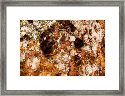 Leafcutter Ant Atta Texana Colony Framed Print