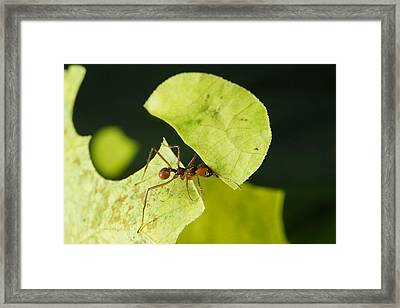 Leafcutter Ant Carrying Freshly Cut Framed Print