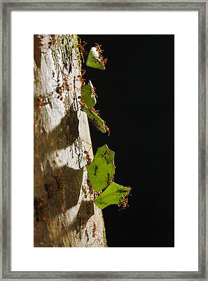 Leafcutter Ant Carrying Leaves Costa Framed Print