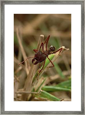 Leafcutter Ant Paraguay Framed Print