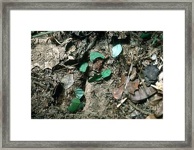 Leafcutter Ants At Nest Framed Print