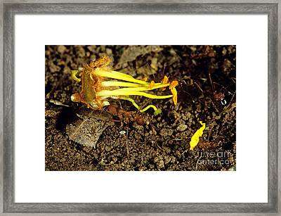 Leafcutter Ants Carrying Flower Framed Print