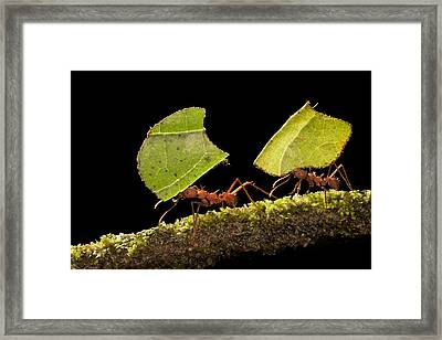 Leafcutter Ants Carrying Leaves Costa Framed Print