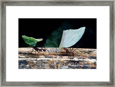 Leafcutter Ants Carrying Leaves Framed Print