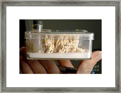 Leafcutter Ants In Lab Framed Print