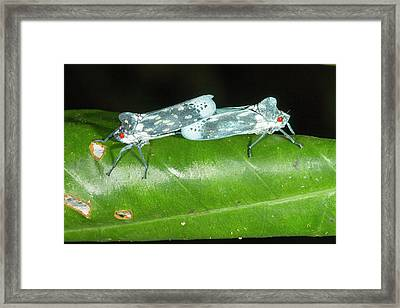 Leafhoppers Mating Framed Print by Dr Morley Read