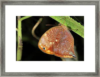 Leafwing Butterfly Roosting At Night Framed Print