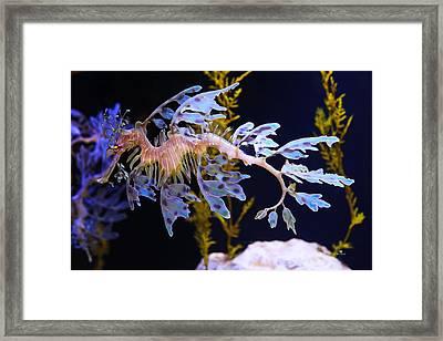 Leafy Sea Dragon - Seahorse Framed Print by Russ Harris