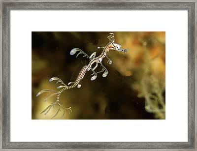 Leafy Sea Dragon Hatchling Rapid Bay Framed Print