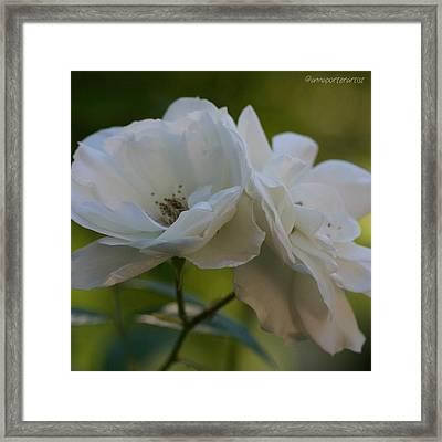 Lean On Me White Roses In Anna's Gardens Framed Print