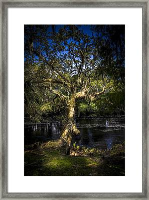Leaning Oak Framed Print by Marvin Spates