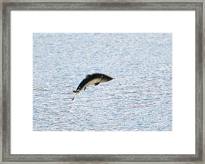 Leaping Chinook Framed Print by Mike  Dawson
