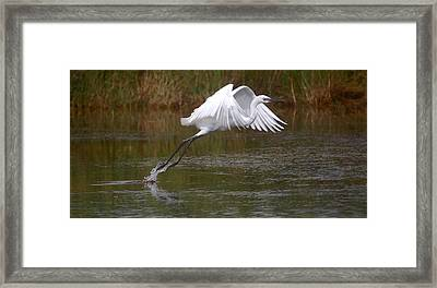 Leaping Egret Framed Print by Leticia Latocki