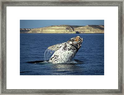 Leaping Southern Right Whale, Eubalaena Framed Print by Javier Etcheverry